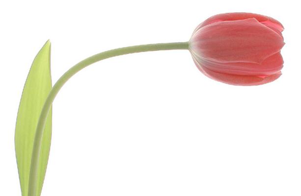 Gracefull-Tulip-Bahman-Farzad-e1393649715221-fi